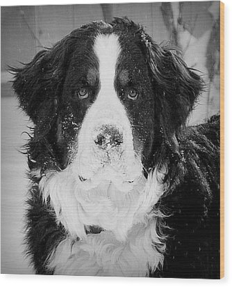 Frozen Nose Wood Print by Barbara Dudley