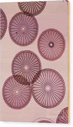 Frustules Of Diatoms Wood Print by De Agostini Picture Library