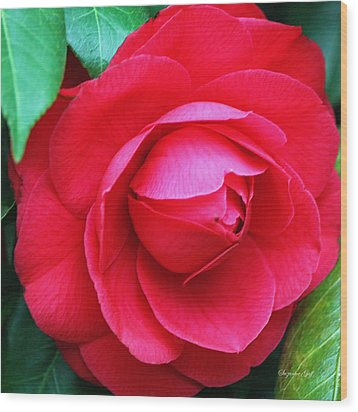 Fuchsia Camellia In Pastel Wood Print by Suzanne Gaff
