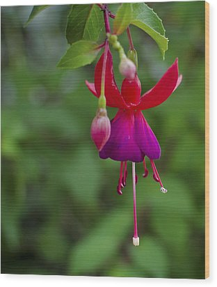 Fuschia Flower Wood Print by Ron White