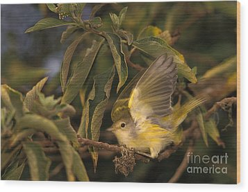 Galapagos Flycatcher Wood Print by Ron Sanford