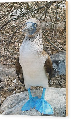 Galapagos Island Blue Footed Booby Bird 1 Wood Print