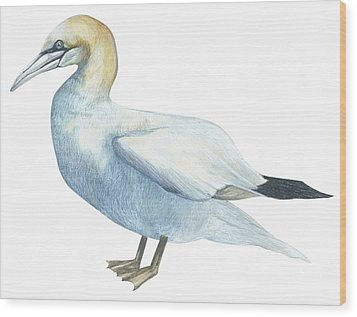 Gannet  Wood Print by Anonymous