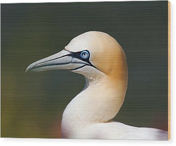 Wood Print featuring the photograph Gannet by Paul Scoullar