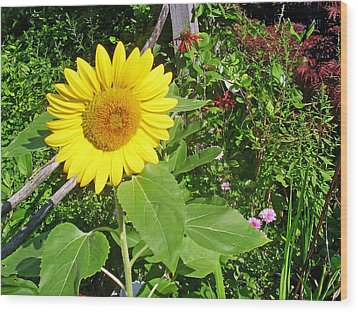 Garden Sunflower Wood Print by Aimee L Maher Photography and Art Visit ALMGallerydotcom