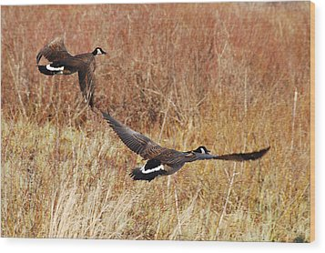 Wood Print featuring the photograph Geese - Taking Off In Flight by Janice Adomeit