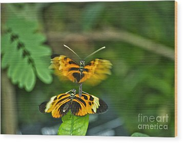 Wood Print featuring the photograph Gentle Butterfly Courtship 03 by Thomas Woolworth