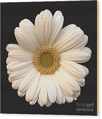 Gerber Daisy Wood Print by Addie Hocynec