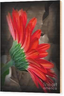 Gerber Daisy Bashful Red Wood Print