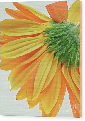 Wood Print featuring the photograph Gerber Daisy Number 1 by Art Barker