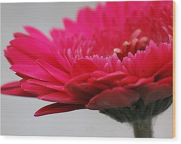 Wood Print featuring the photograph Gerber In Pink by Amee Cave