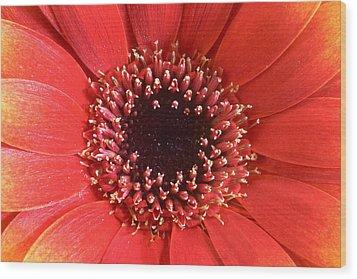 Gerbera Daisy Flower IIi Wood Print by Natalie Kinnear