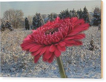 Gerbera Daisy In The Snow Wood Print by Trish Tritz