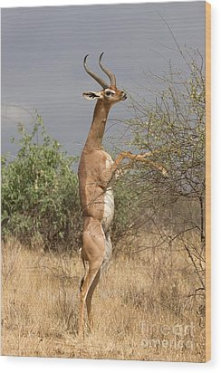 Wood Print featuring the photograph Gerenuk Antelope by Chris Scroggins