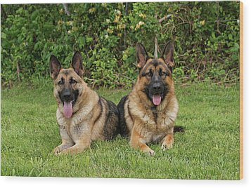 German Shepherds - Mother And Son Wood Print by Sandy Keeton