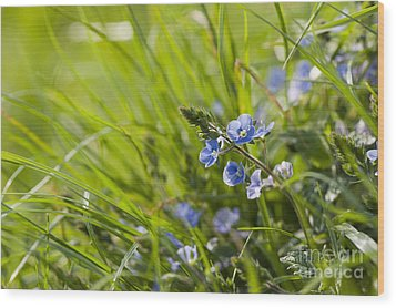 Germander Speedwell Wood Print by Anne Gilbert