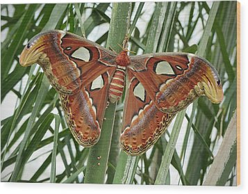 Giant Atlas Moth Wood Print by Cindy McDaniel