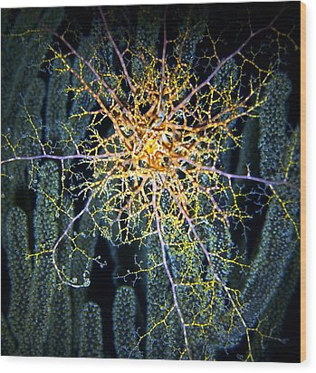 Giant Basket Star At Night Wood Print by Amy McDaniel