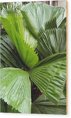 Giant Fan Cactus Wood Print by Barb Baker