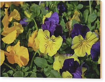 Giant Garden Pansies Wood Print