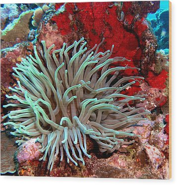 Wood Print featuring the photograph Giant Green Sea Anemone Against Red Coral by Amy McDaniel