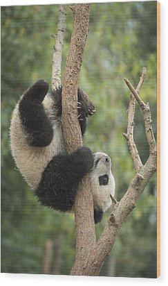 Giant Panda Cub In Tree Chengdu Sichuan Wood Print