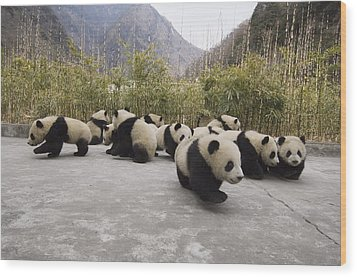 Giant Panda Cubs Wolong China Wood Print