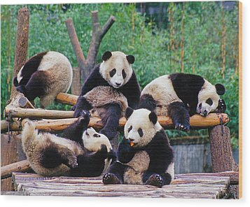 Wood Print featuring the photograph Giant Pandas by Dennis Cox ChinaStock