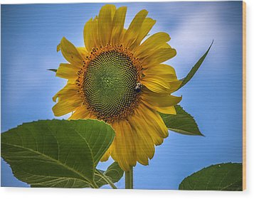 Wood Print featuring the photograph Giant Sunflower by Phil Abrams