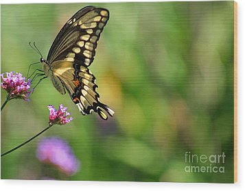 Giant Swallowtail Butterfly Wood Print by Karen Adams