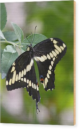 Giant Swallowtail Butterfly  Wood Print by Saija  Lehtonen
