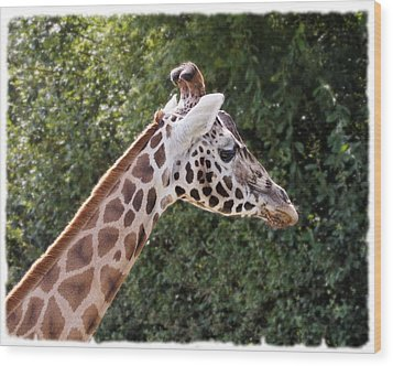 Giraffe 01 Wood Print by Paul Gulliver
