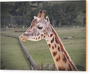 Giraffe 02 Wood Print by Paul Gulliver