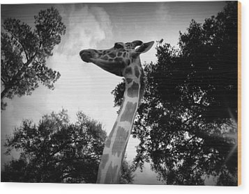 Giraffe Bw - Global Wildlife Center Wood Print by Beth Vincent