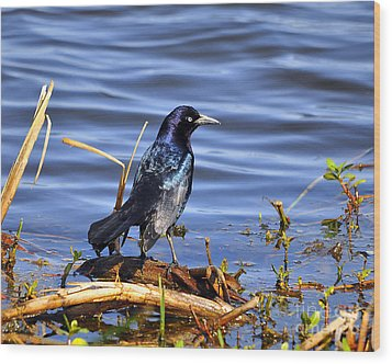 Glorious Grackle Wood Print by Al Powell Photography USA