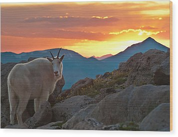 Glorious Mountain Goat Sunset Wood Print by Mike Berenson