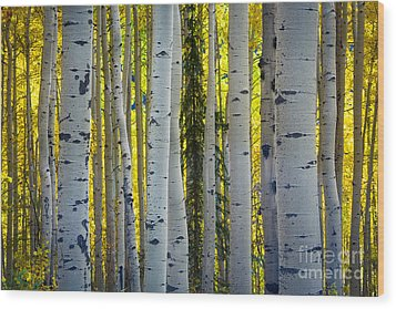 Glowing Aspens Wood Print by Inge Johnsson