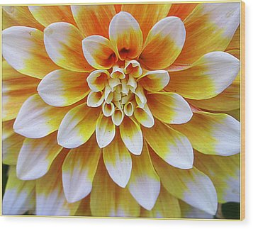 Glowing Dahlia Wood Print by Dora Sofia Caputo Photographic Art and Design