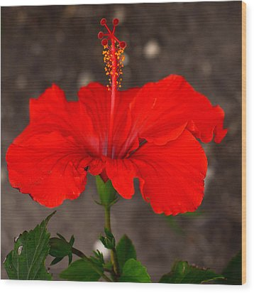Glowing Red Hibiscus Wood Print