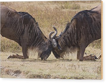 Wood Print featuring the photograph Gnu Challenge Ritual by Chris Scroggins