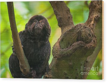 Wood Print featuring the photograph Goeldi's Callimico by Bianca Nadeau