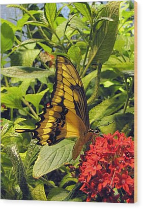 Gold Giant Swallowtail Wood Print