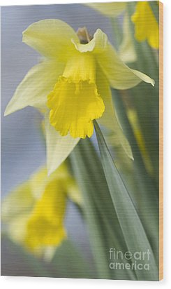 Golden Daffodils Wood Print by Anne Gilbert
