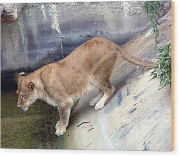 Wood Print featuring the photograph Golden Fur Lioness by Joseph Baril