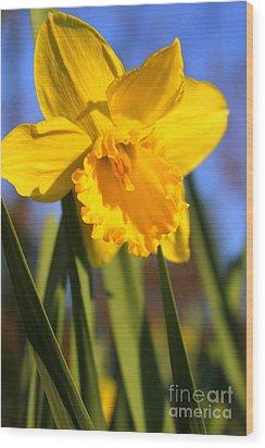 Golden Glory Daffodil Wood Print