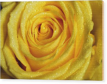 Golden Grandeur Of Nature. Yellow Rose I Wood Print by Jenny Rainbow