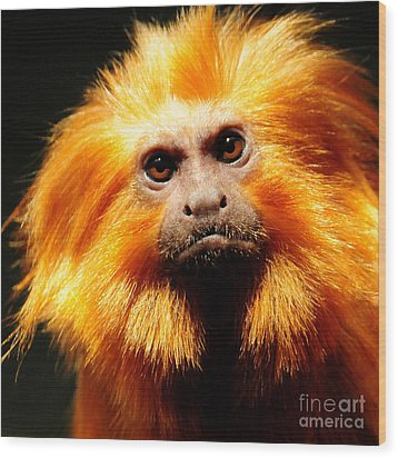 Golden Lion Tamarin Wood Print by Olivia Hardwicke