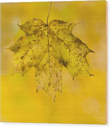 Wood Print featuring the photograph Golden Maple Leaf by Sebastian Musial
