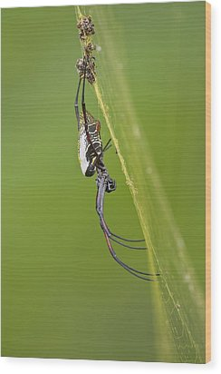 Golden Orb-weaver Spider Wood Print by Science Photo Library