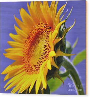Golden Sunflower Wood Print by Judy Palkimas